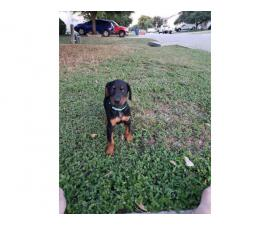 8 Doberman Pinscher Puppies for Sale
