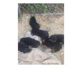 3 females 4 males rottweiler puppy available