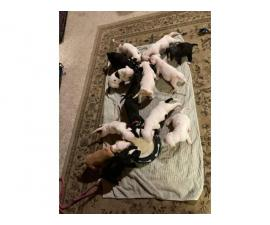 3 Pit bull puppy available
