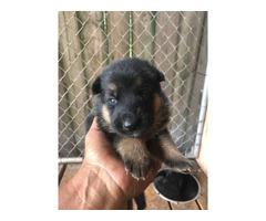 Four AKC German Shepherd puppies for Sale