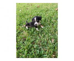 7 weeks old Jack Chi Puppies