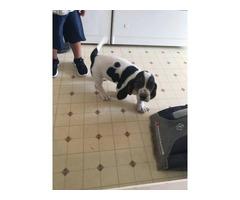 2 months old Bassett Hound puppy
