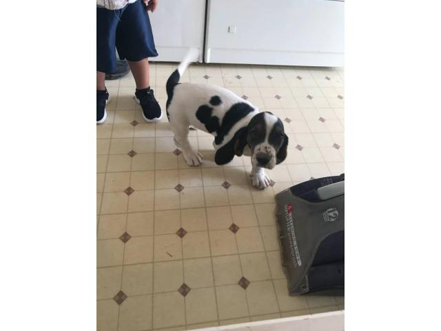 2 months old Bassett Hound puppy in San Diego, California ...