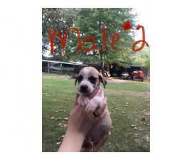 Male and female Mountain Cur puppy