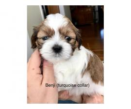 7 beautiful Lhasa Apso puppies available