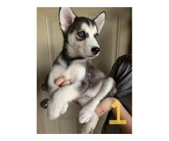 Purebred Husky Puppies