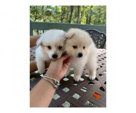4 Adorable Pomeranians for Sale