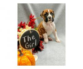 Registered boxer puppies for sale