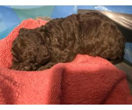2 chocolate teacup poodle puppies for sale