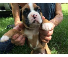 AKC Boxer Puppies for Sale 2 females and 5 males