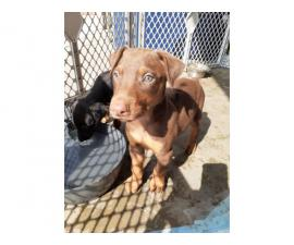 8 American Doberman Pincher puppies for sale