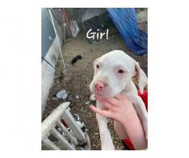 Two girls & six boys Bullypit puppies