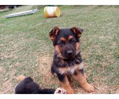Rehoming 4 Red and Black German Shepherd Puppies
