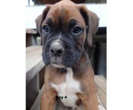 7 AKC boxer puppies 1 female and 6 males