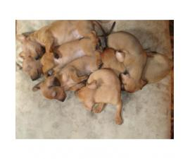 6 miniature dachshund puppies available