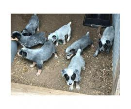 Adorable Purebred Blue Heeler Puppies for sale.