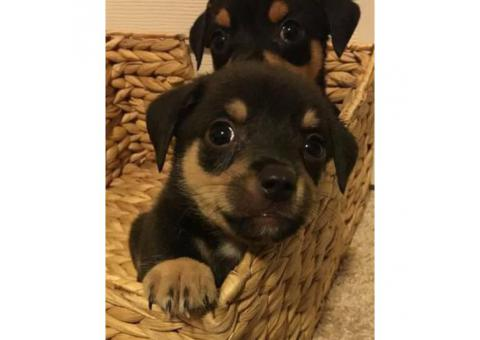 Chihuahua Puppies ready to go August 2017