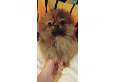One male akc orange bridle Pomeranian puppy