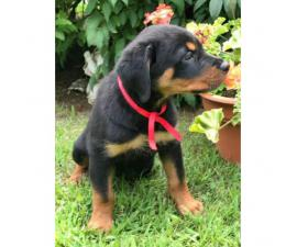 Beautiful Male Rottweiler Puppies for adoption 2017
