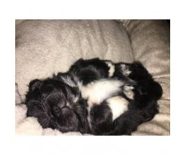 Cute, cuddly Pekingese male puppy for sale