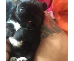 Cute, cuddly Pekingese male puppy for sale