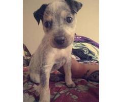 Very playful Blue Heeler puppy for sale