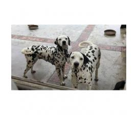 PUREBRED DALMATIAN PUPS Available For Sale