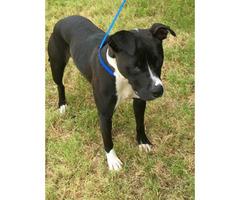 Black and White Terrier for Adoption