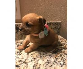 8 weeks old Shici Puppies have been dewormed