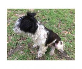 White and black pure bred Miniature Schnauzer