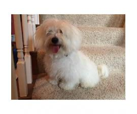 8 Months old Male Coton De Tulear Puppies