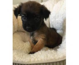 2 adorable little Lhasa Apso  Puppies for Sale