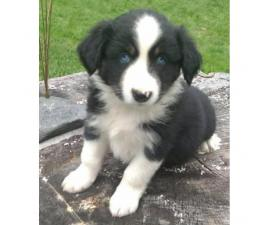 Registered purebred Aussie pups