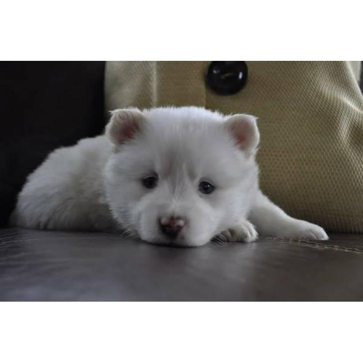 Beautiful White Male Pomsky Puppies For Sale In Mooresville North Carolina Puppies For Sale