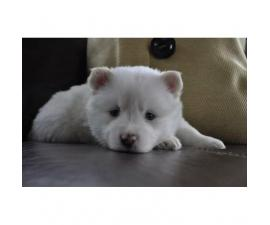Beautiful white male Pomsky puppies for sale