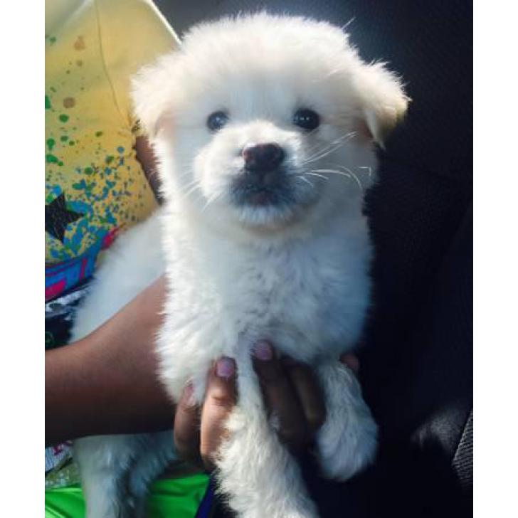 Beautiful white male Pomsky puppies for sale in Wyoming USA