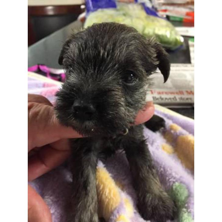 5 Females Ckc Miniature Schnauzer Puppies For Sale In Jackson Mississippi Puppies For Sale