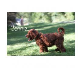 3 Red Irishdoodle puppies left