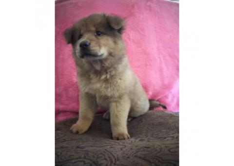 one chow puppy left