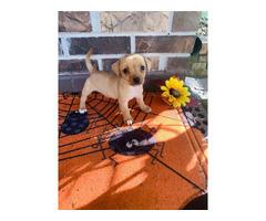 8 weeks old female Chiweenie puppy