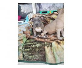 3 UKC American Bully Puppies for Sale