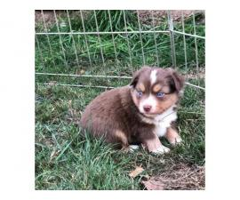 Red Tri female Mini Aussie Puppy for Sale