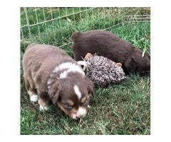 Red Tri female Mini Aussie Puppy for Sale