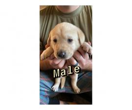 Two Male One Female Yellow Lab Puppies for Sale