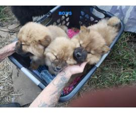 Ten weeks old Chow Puppies ready for their forever homes