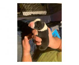 2 Border Collie puppy up for adoption