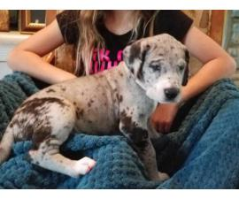 AKC great dane puppies with papers
