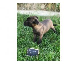 3 purebred belgian malinois puppies for sale