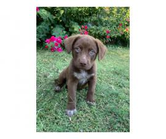 8 weeks old beautiful chocolate Labrador puppies
