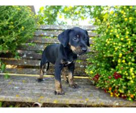 Registered solid coat catahoula puppies for sale